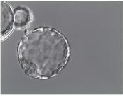 MEA assay - GWST-5040 - LOT# 1508-370/1.5-05